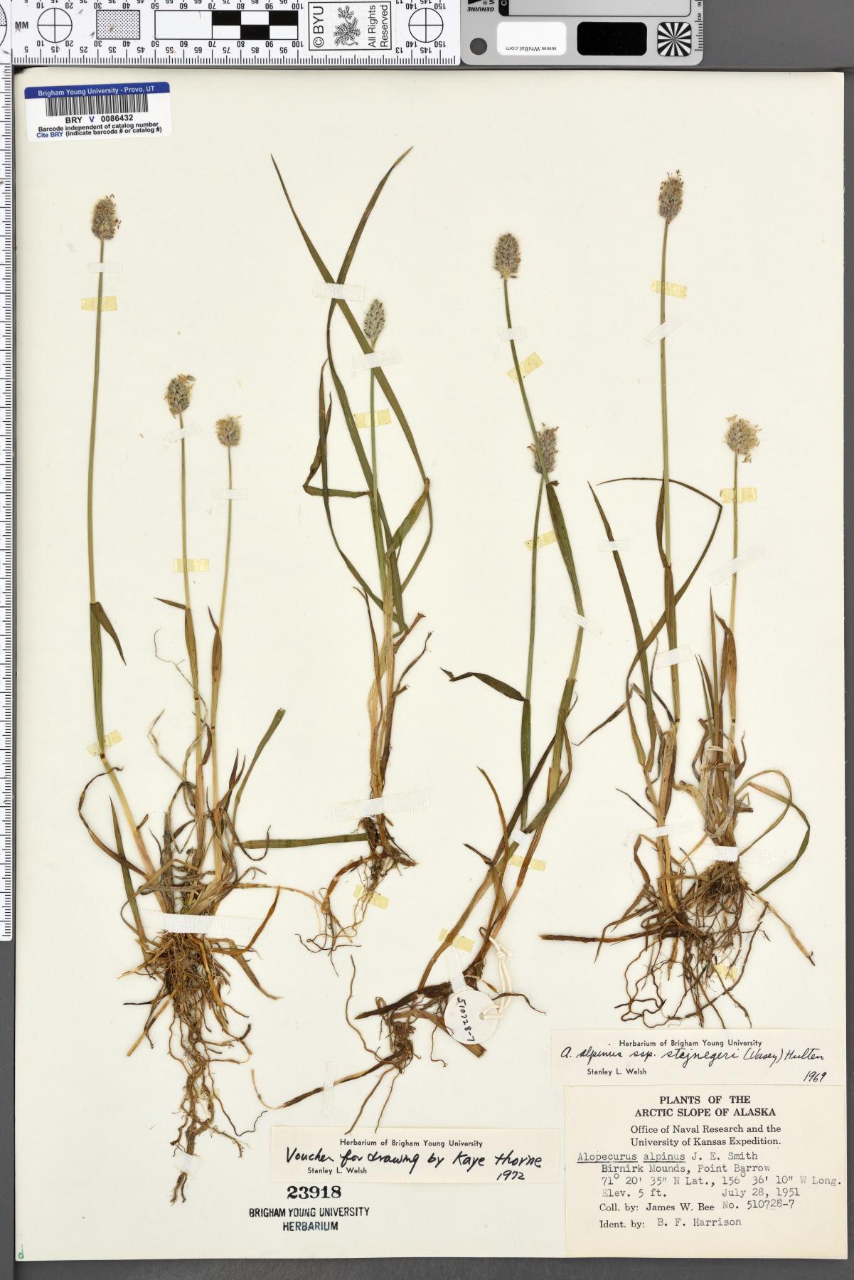 Alopecurus alpinus subsp. stejnegeri image