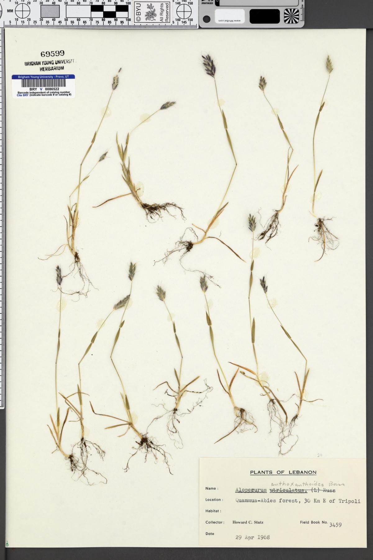Alopecurus utriculatus subsp. anthoxanthoides image