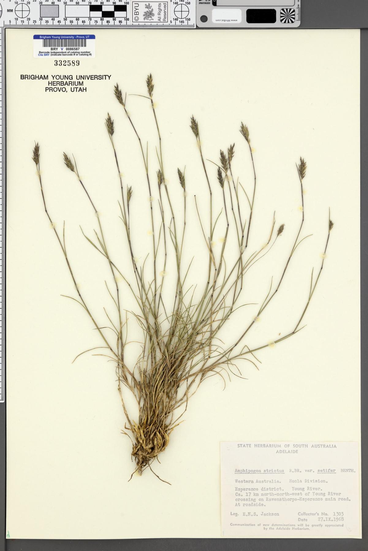 Amphipogon strictus image
