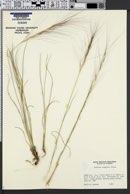 Aristida purpurea var. longiseta image