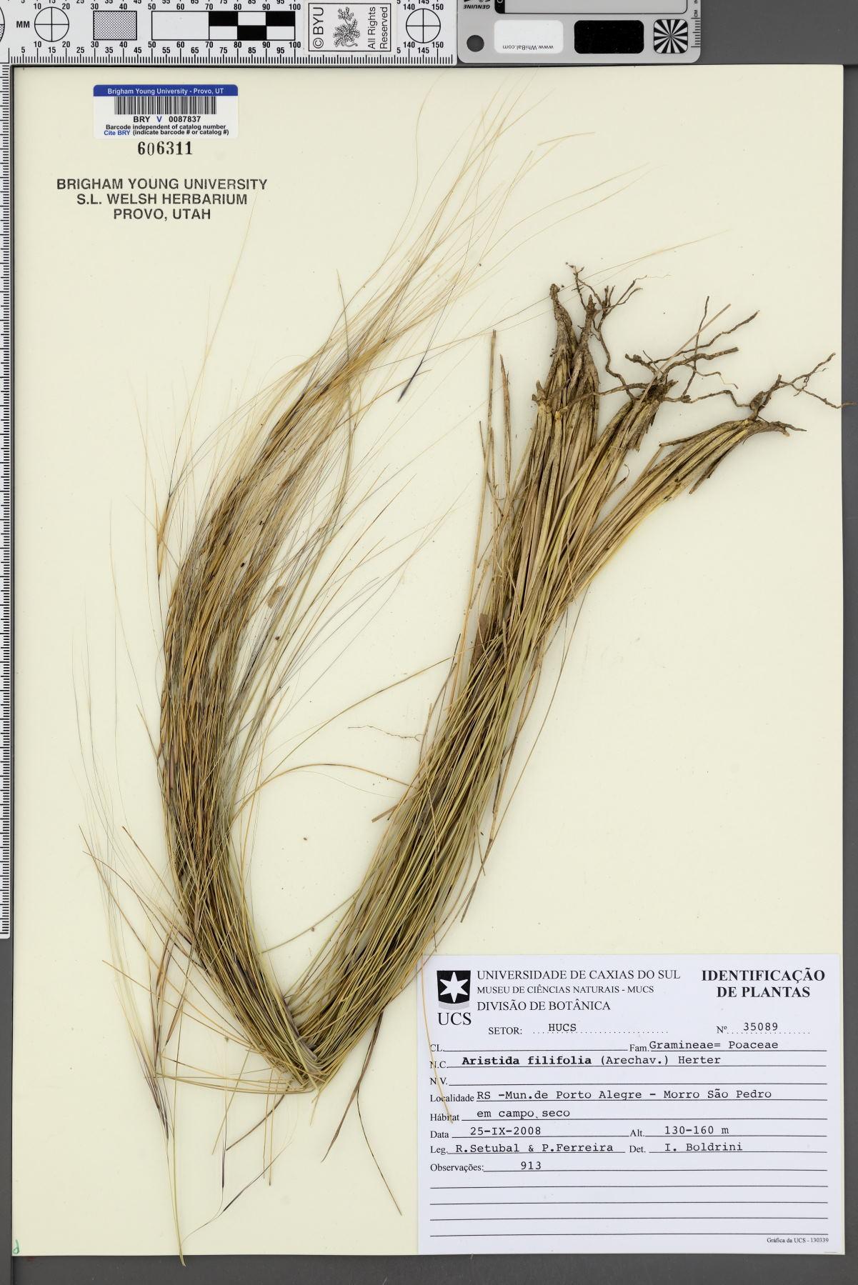 Aristida filifolia image