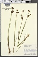 Image of Juncus tweedyi
