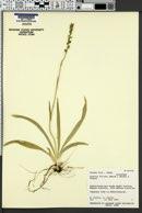Image of Aletris foliata