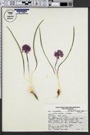 Allium aaseae image