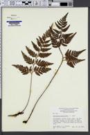 Image of Polystichum adiantiforme