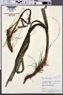 Image of Enhalus acoroides