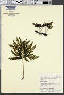Image of Vandenboschia draytoniana