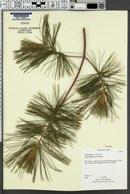 Image of Pinus wallichiana