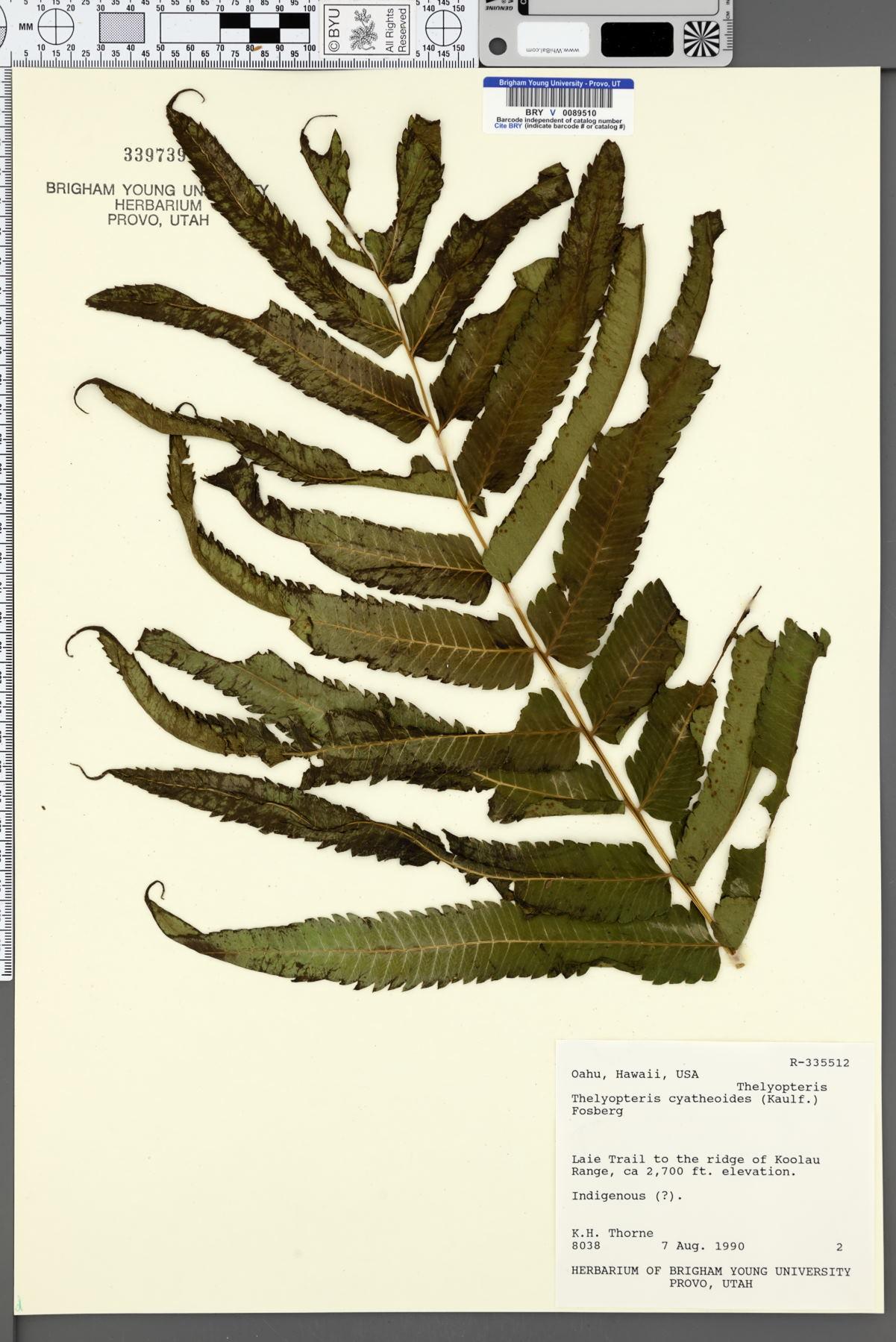 Thelypteris cyatheoides image