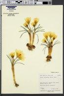 Crocus chrysanthus image