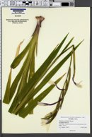 Image of Gladiolus callianthus