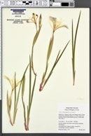 Iris chrysophylla image