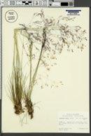 Agrostis scabra image