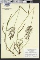 Agrostis stolonifera var. stolonifera image