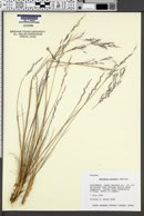 Image of Agrostis hooveri