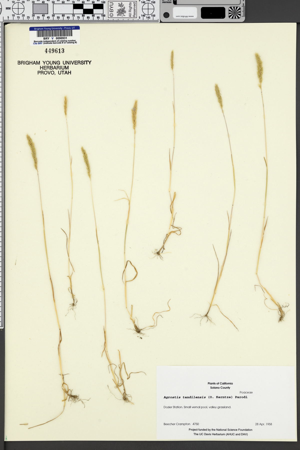 Agrostis tandilensis image