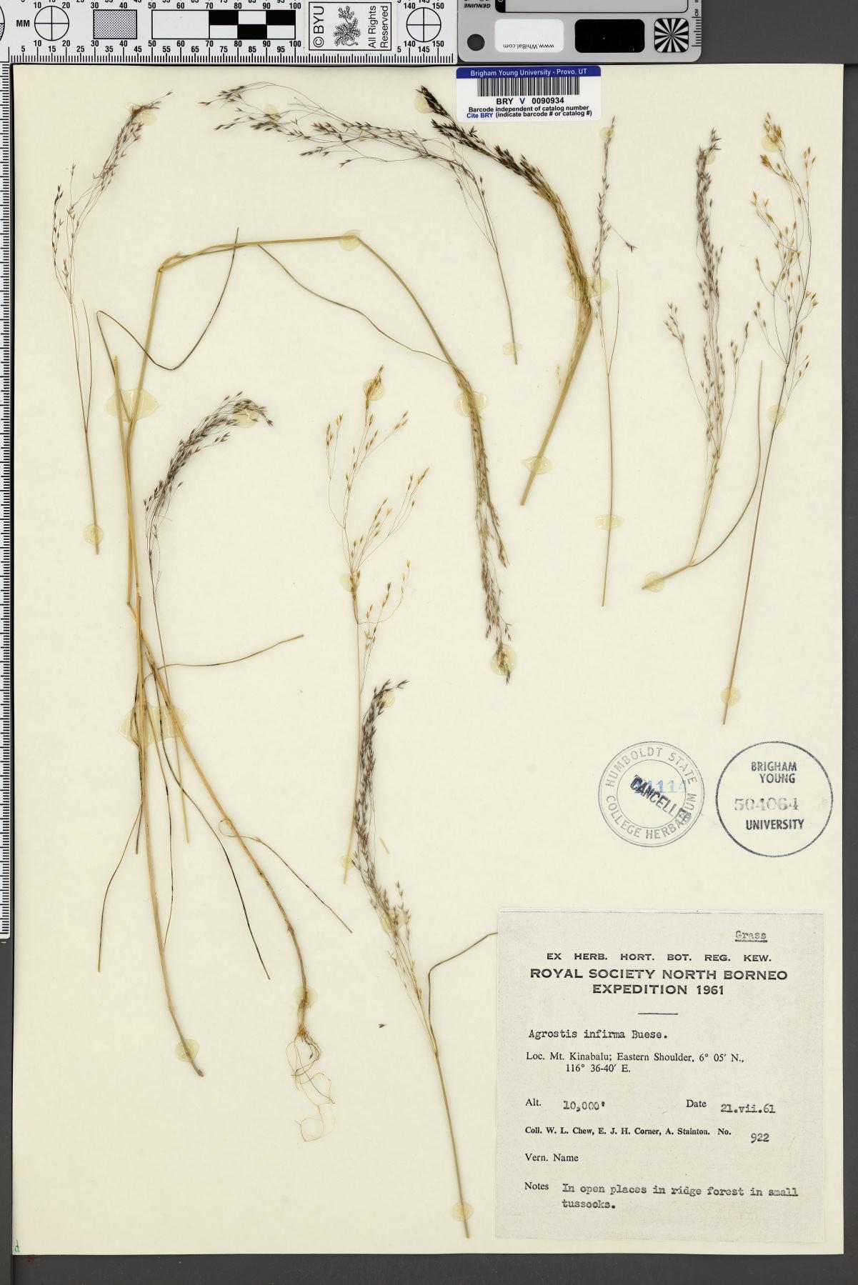 Agrostis infirma image