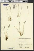 Agrostis rupestris image