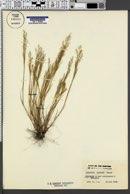 Agrostis elegans image