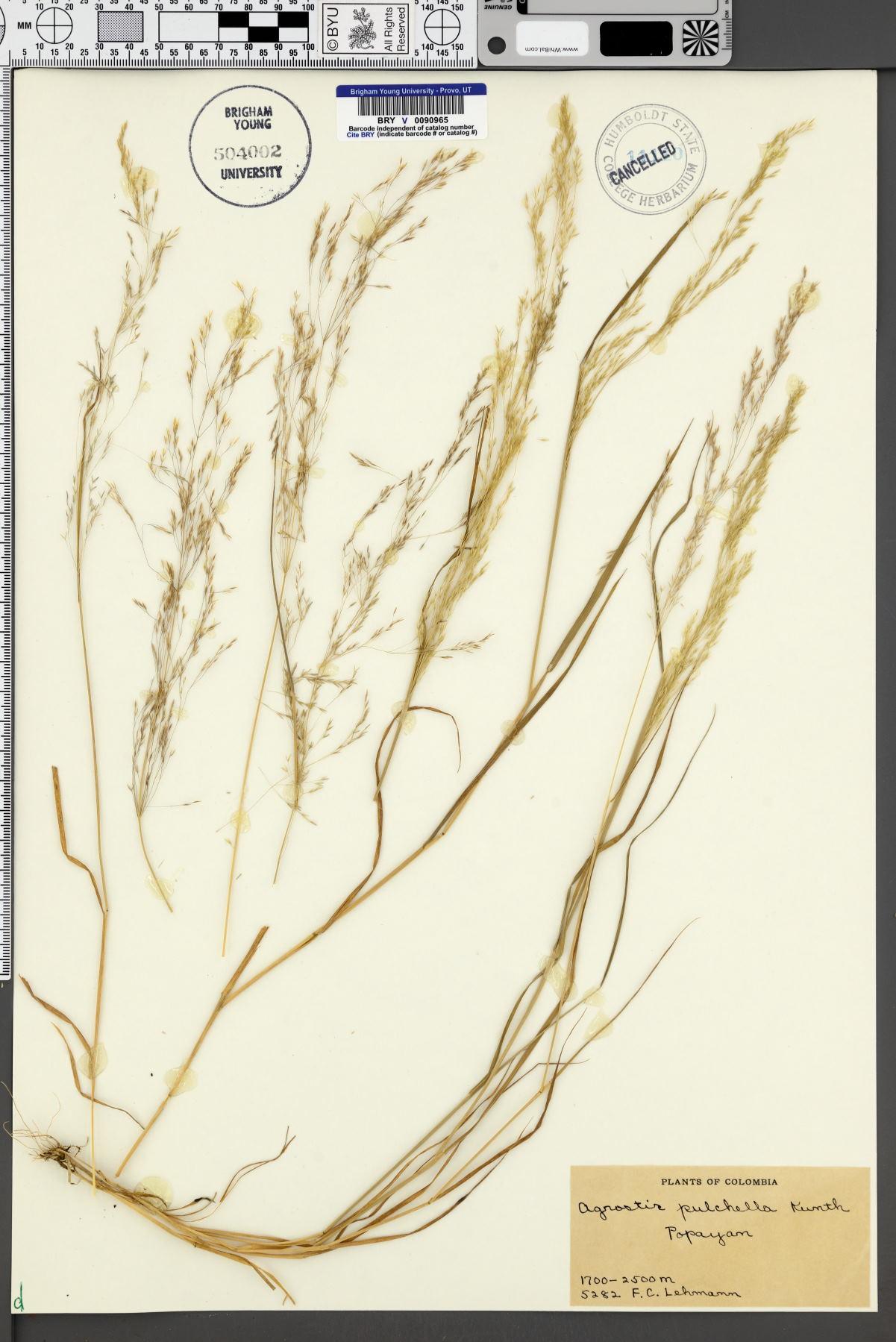 Agrostis tenerrima image