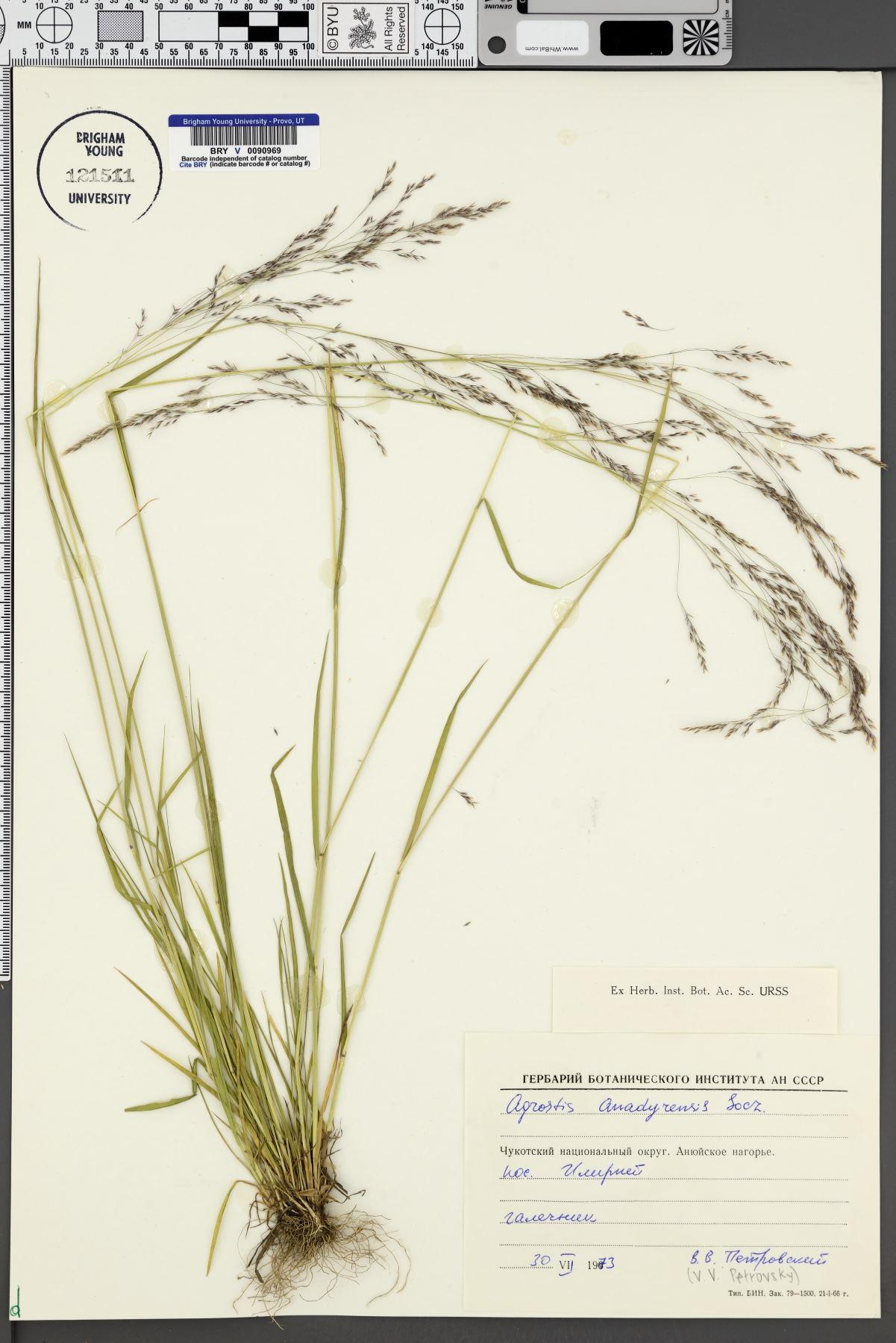 Agrostis anadyrensis image
