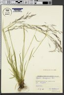 Image of Agrostis anadyrensis