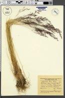Agrostis trinii image
