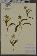 Image of Fritillaria glauca