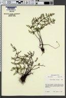 Pellaea truncata image