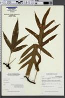 Image of Phymatosorus grossus