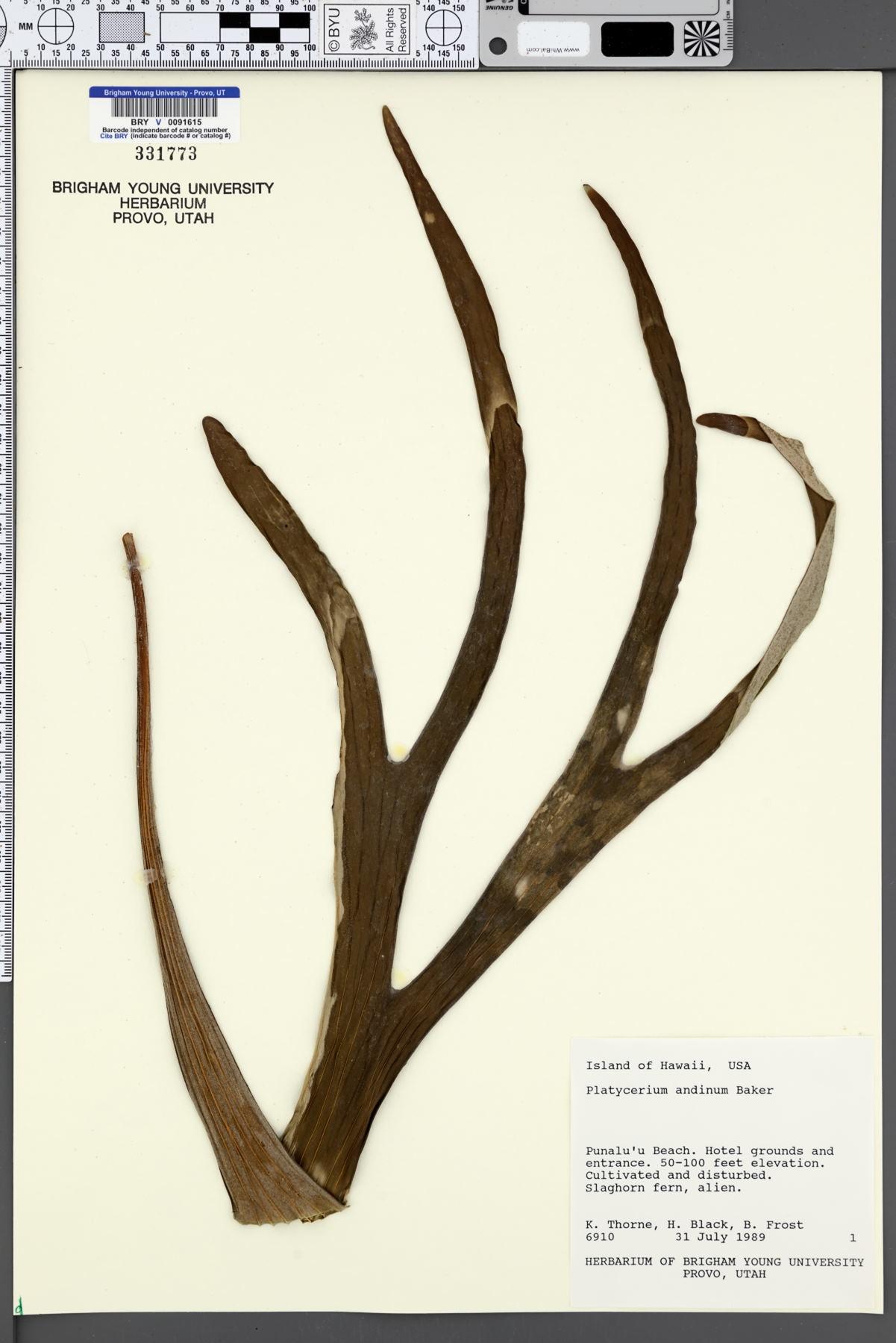 Platycerium andinum image