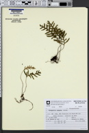 Pleopeltis angusta image