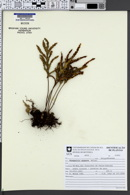 Image of Pleopeltis angusta
