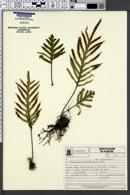 Image of Pleopeltis pleopeltifolia