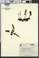 Pleopeltis squalida image