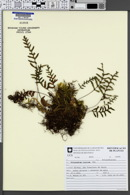 Image of Pleopeltis pleopeltidis