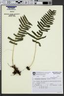 Image of Serpocaulon catharinae