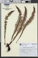 Image of Polypodium hirsutissimum