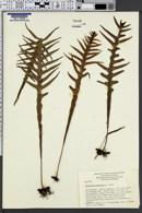 Image of Phymatosorus pustulatus