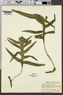 Image of Polypodium scolopendria