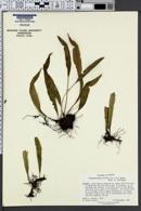 Elaphoglossum pilosum image