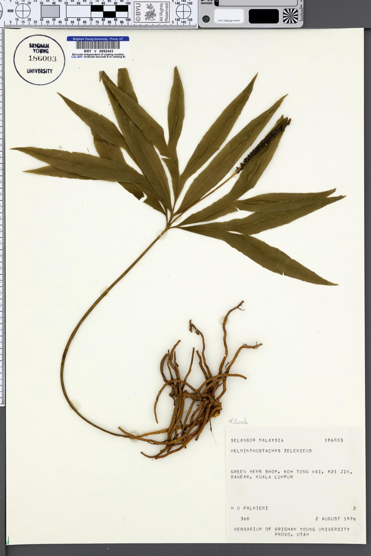 Helminthostachys sp, Helminthostachys sp