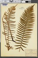 Image of Lomaria biserrata