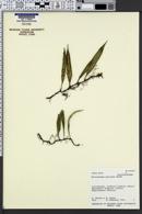 Image of Microgramma percussa