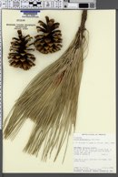 Pinus engelmannii image