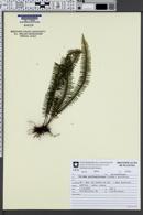 Image of Pecluma pectinatiformis