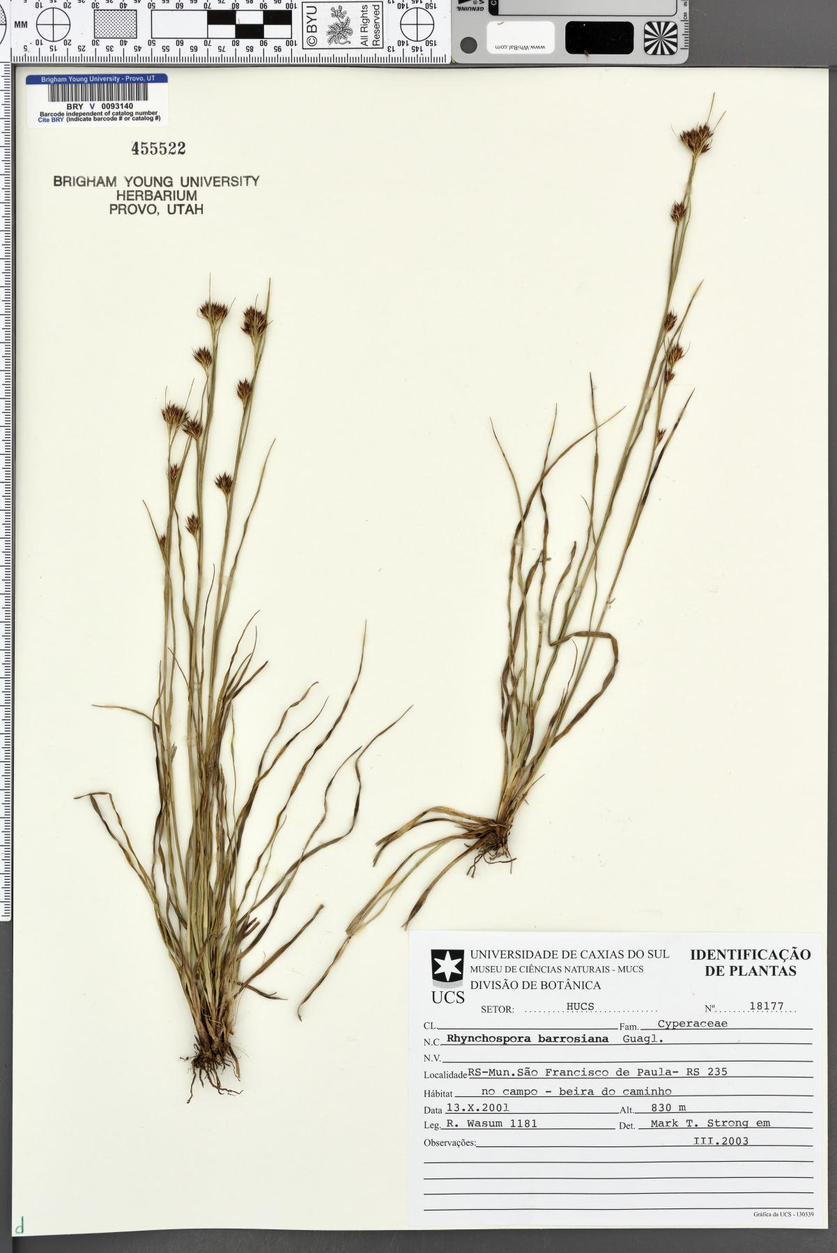Rhynchospora barrosiana image