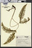 Dicranopteris nervosa image