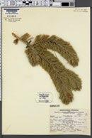 Image of Pinus balfouriana