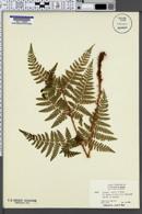 Image of Dryopteris assimilis